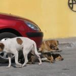 Cu toate că au fost adunați de primarie de pe străzile Cugirului câinii maidanezi au fost mai apoi revendicaţi de localnici