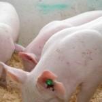 Vezi care sunt cele patru abatoare din județul Alba care pot achiziționa porcine din gospodăriile țărănești