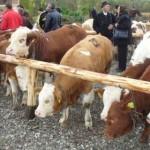 D.S.V.S.A. a programat controale în târgurile de animale din județul Alba