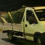 Cugirean surprins de polițiștii din Avram Iancu transportând 40 de brazi de Craciun tăiați ilegal