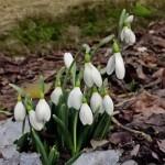 Tradiţii şi obiceiuri de 1 martie, ziua Mărţişorului. Care este povestea sărbătorii româneşti a primăverii | cugirinfo.ro