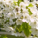 Obiceiuri, superstiţii și tradiții de Florii: Ramurile de salcie sunt așezate înainte de culcare sub pernele fetelor nemăritate | cugirinfo.ro
