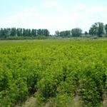 """În cadrul Proiectului """"Controlul integrat al poluării cu nutrienţi"""" Cugirul va planta 750.000 de puieţi de salcâm"""