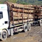 Pentru a evita controalele, devoratorii de lemn din pădurile Cugirului şi-au modificat traseul!