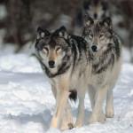 Fermierii din satele de munte aparţinând Cugirului cred că atacurile haitelor de lupi sunt cauzate de braconaj şi tăierile masive de pădure