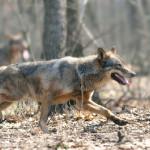 La Fețeni-Cugir, lupii atacă în haită, la lumina zilei!