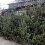117 brazi de Crăciun confiscați de la patru bărbați care-i comercializau ilegal în Piața din Cugir