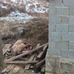 La Cugir, porci morţi, sfâşiaţi de câini, descoperiţi într-o grădină de pe strada Viilor
