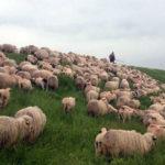 Din cauza răcirii accentuate a vremii, fermierii din satele de munte arondate Cugirului au fost nevoiți să-și coboare turmele de oi în zonele de șes