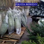 Peste 100 de pomi de Crăciun confiscați de polițiști de la o societate comercială din Cugir, care nu a putut prezenta actele de proveniență